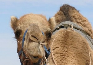 Camels become prime suspects in deadly Saudi virus outbreak