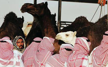 90% of Gulf camels MERS-infected