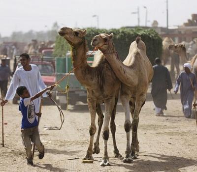 Abu Dhabi study links camel farms to spread of Mers virus